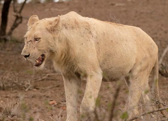 león blanco en Kruger N.P.
