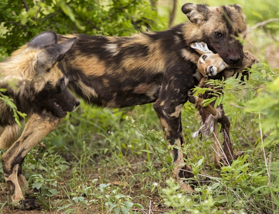 perro salvaje con presa en Kruger National Park sudafrica