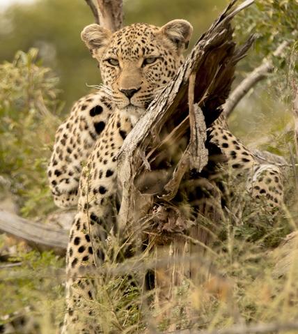 Leopardo en Kruger National Park
