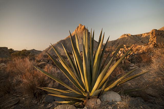 vegetación desierto de Tabernas