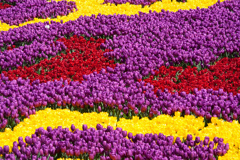 tulicarpet.jpg