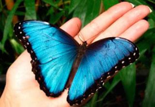 mariposa morpho costa rica
