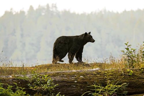 balck bear