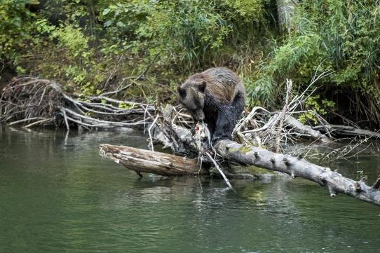 Oso grizzli Bella Coola Canadá Te cuento de viajes