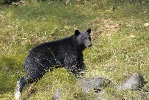 oso negro Ucluelet