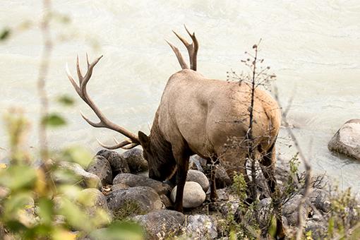 ciervo bebiendo Jasper