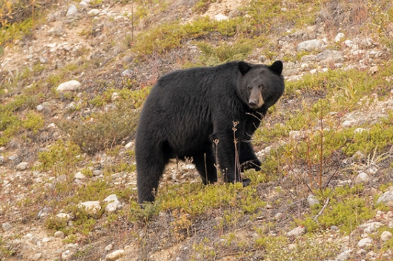 Oso negro en bow valley parkway banff