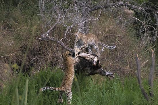 crías de leopardo jugando en Kruger N.P. Sudáfrica