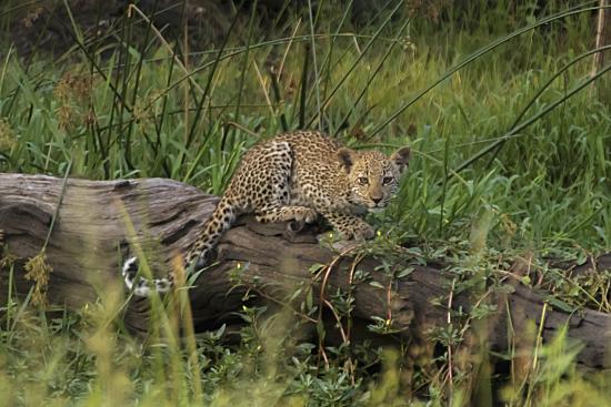 cría de leopardo Kruger National park. Sudáfrica