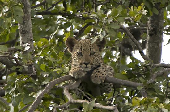 Leopardo cría en Kruger N.P. Sudáfrica