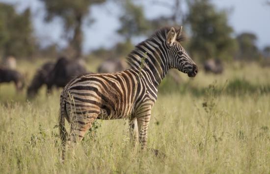 Cría de cebra en Kruger National Park, Sudáfrica