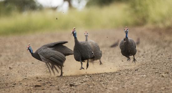 gallinas de guinea en Kruger National Park, Sudáfrica