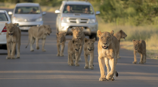avistamiento de leones en la carretera de Lower Sabie, Kruger National Park. Sudáfrica