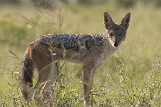 chacal en Kruger N.P. Sudáfrica