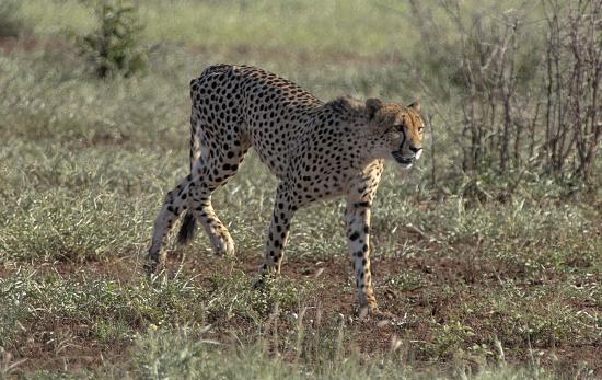 leopardo lesionado Kruger National Park. Sudáfrica