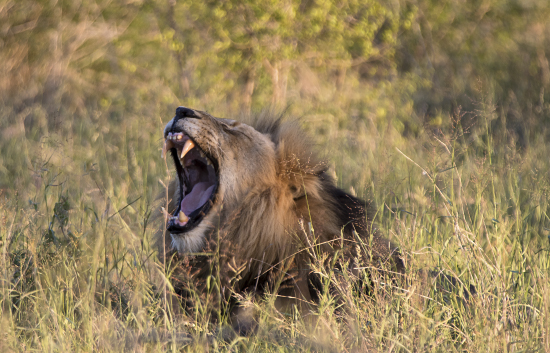 león en Kruger N.P. Sudáfrica