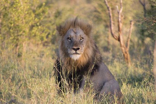 león macho Kruger N.P. Sudáfrica. Satara