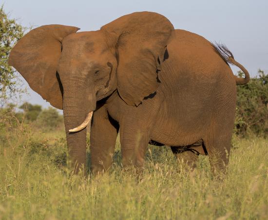 elefante y polvo rojo en Kruger National Park Sudáfrica