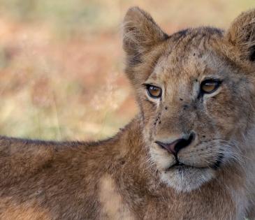 Foto cachorro de león Kruger N.P (Sudáfrica)