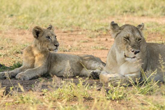 leona con cría en Kruger N.P. Sudáfrica
