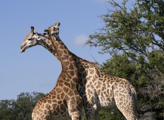 jirafas practicando necking en Kruger National Park, Sudáfrica