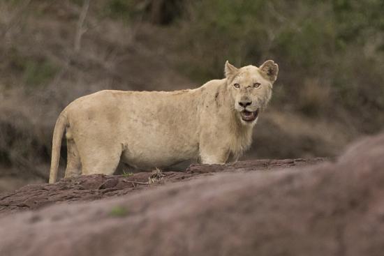 león blanco Kruger National Park, Sudáfrica