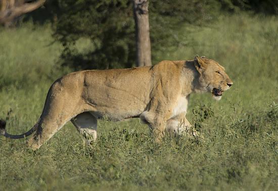 leona Kruger National Park. Sudáfrica. Satara