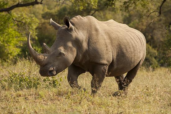 rinoceronte en Kruger N.P. Sudáfrica
