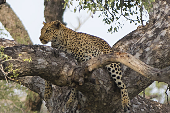 leopardo Kruger N.P. (Sudáfrica)