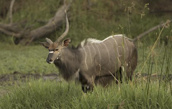 nyala lesionado, con un cuerno solo Kruger N.P. Sudáfrica