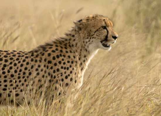 guepardo en Kruger National park, Sudáfrica