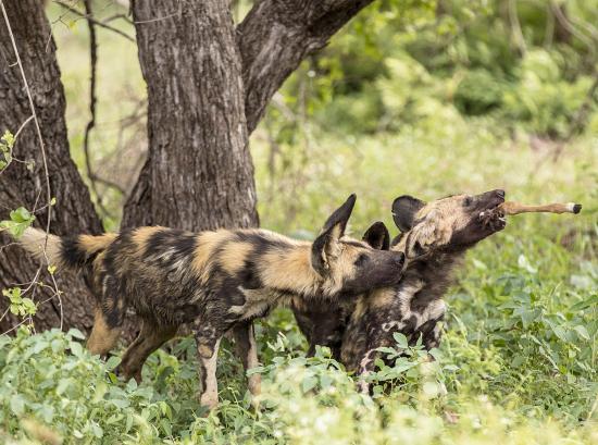perros salvajes en acción, comiendo un impala en Kruger N.P. Sudáfrica