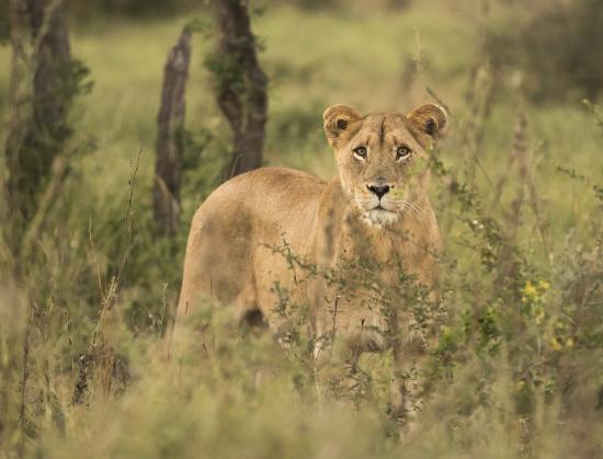 leona Sudáfrica. Kruger N.P.