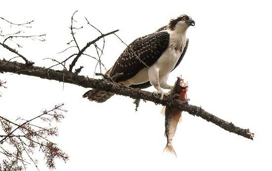 águila pescadora comiendo en Canadá