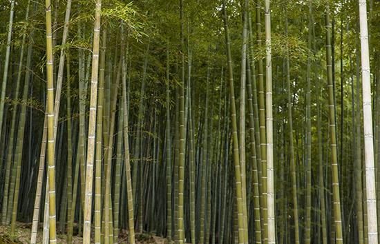 bosques de bambú Japón