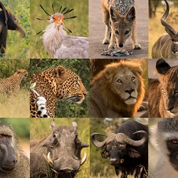 foto collage fauna Parque Nacional Kruger