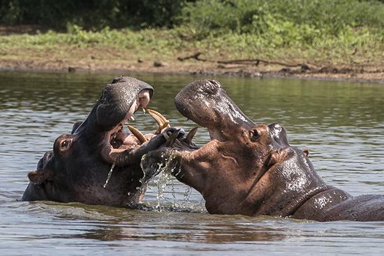 ver hipopótamos de safari en Sudafrica