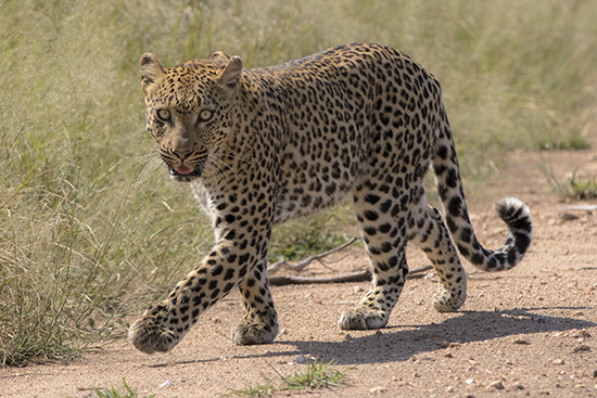 leopards in Kruger National Park Sudafrica