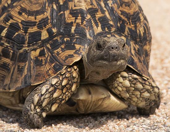 tortugas en Kruger National Park