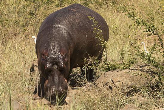 ver hipopótamos en Kruger National Park Sudafrica