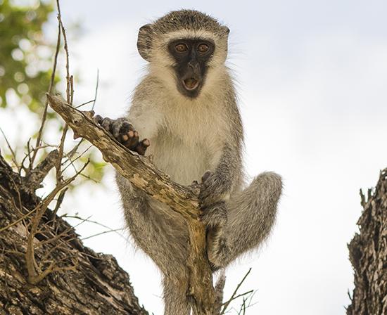 ver monos en Kruger National Park ververt en Sudafrica