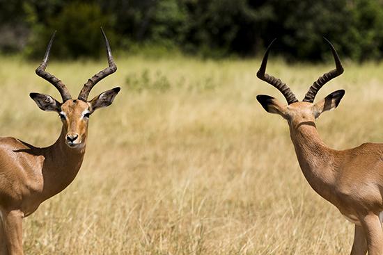 ver impalas en Kruger National Park Sudafrica