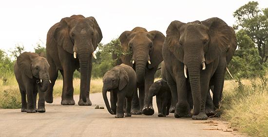 Avistar elefantes en Kruger N.P. Sudáfrica