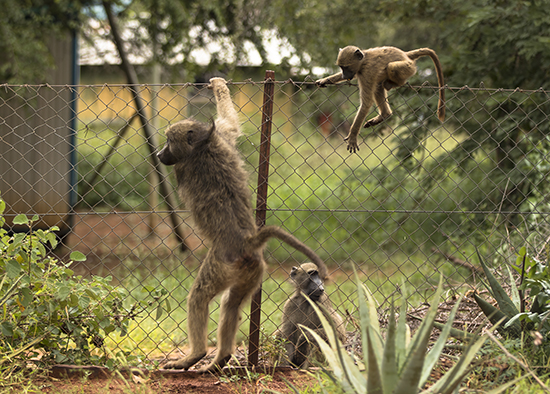 monos en campamentos de Kruger National Park Sudafrica