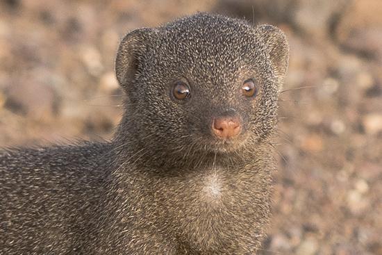 ver fauna en Kruger National Park Sudafrica mangostas