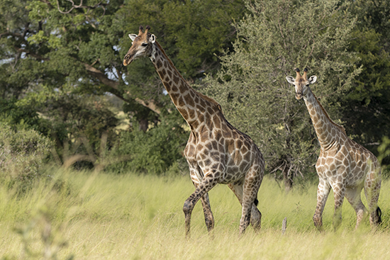 ver jirafas en Kruger National Park Sudafrica