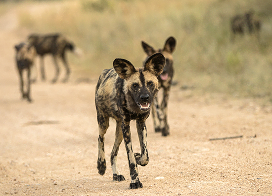 wild dogs in Kruger National Park sudafrica