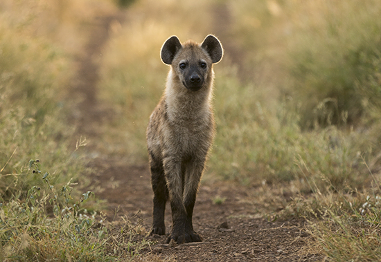 ver hienas en Kruger National Park Sudafrica