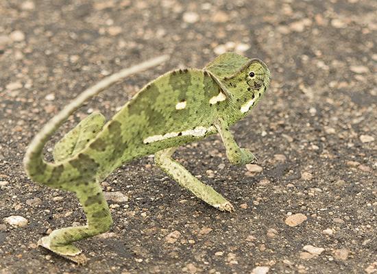 reptiles en Kruger N.P. Sudafrica
