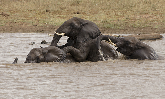 Elefantes en la hora del baño en Kruger N.P.